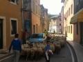 Ovce u Obrovcu
